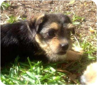 Yorkie, Yorkshire Terrier Mix Puppy for adoption in Mary Esther, Florida - Blaze