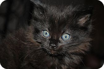 Domestic Longhair Kitten for adoption in Yuba City, California - Nancy
