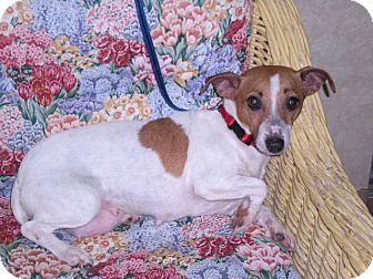 "Jack Russell Terrier Dog for adoption in New Castle, Pennsylvania - "" Molly """