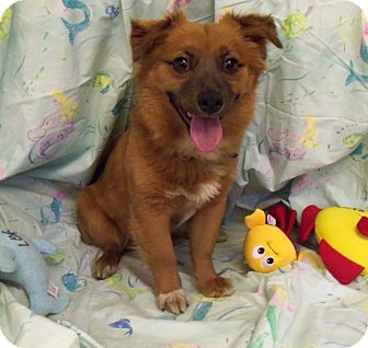 Sheltie, Shetland Sheepdog/Corgi Mix Dog for adoption in Waldorf, Maryland - Tony #217