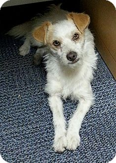 Wirehaired Fox Terrier/Toy Fox Terrier Mix Dog for adoption in Whittier, California - Buster