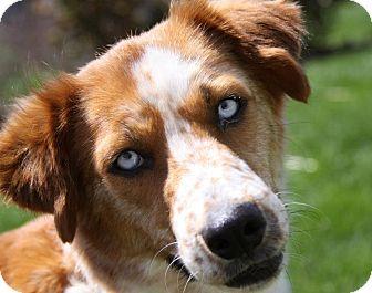 Australian Shepherd Mix Dog for adoption in Hainesville, Illinois - Trixie