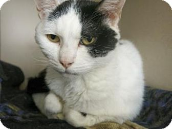 Domestic Shorthair Cat for adoption in Buena Vista, Colorado - Chloe