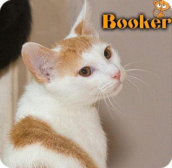 Domestic Shorthair Kitten for adoption in River Edge, New Jersey - Booker