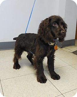Cocker Spaniel Puppy for adoption in Shawnee Mission, Kansas - Baxter Spaniel