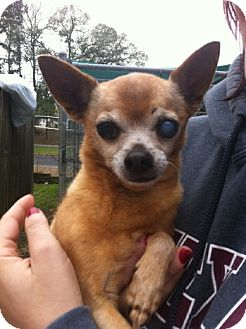 Chihuahua Mix Dog for adoption in College Station, Texas - Lil Man Chi