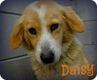 Spaniel (Unknown Type) Mix Dog for adoption in Sugar Land, Texas - Daisy