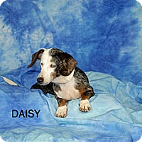 Adopt A Pet :: Daisy - Ft. Myers, FL