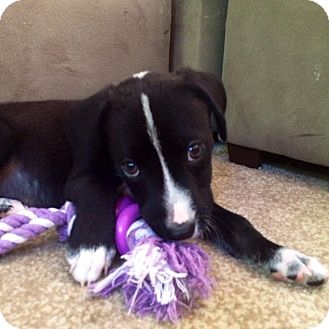 Hound (Unknown Type)/Labrador Retriever Mix Puppy for adoption in Wappingers, New York - Luke