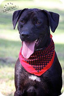 Labrador Retriever/Pointer Mix Dog for adoption in Albany, New York - Cody