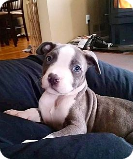 American Pit Bull Terrier Mix Puppy for adoption in Reisterstown, Maryland - Jax