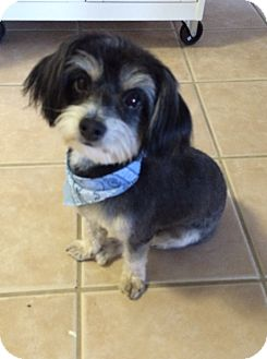 Maltese/Yorkie, Yorkshire Terrier Mix Dog for adoption in Encino, California - Calvin