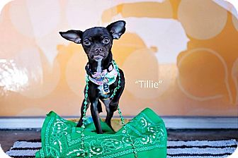 Chihuahua/Terrier (Unknown Type, Small) Mix Dog for adoption in Shawnee Mission, Kansas - Tillie