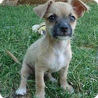 Adopt A Pet :: Abbey - Phoenix, AZ