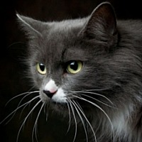 Domestic Longhair Cat for adoption in St. Charles, Illinois - Lucy