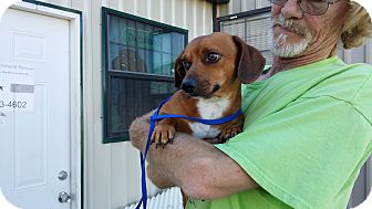 Dachshund/Australian Shepherd Mix Dog for adoption in Lubbock, Texas - Bradley