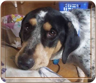 Bluetick Coonhound/Coonhound Mix Dog for adoption in Frankfort, Illinois - Huey