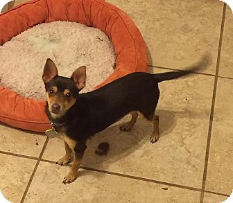Chihuahua Mix Puppy for adoption in Dallas, Texas - Toffee - Puppy