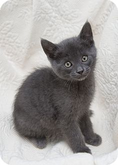 Domestic Shorthair Kitten for adoption in Bristol, Connecticut - Misha