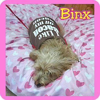 Poodle (Miniature)/Terrier (Unknown Type, Medium) Mix Dog for adoption in Mesa, Arizona - Binx
