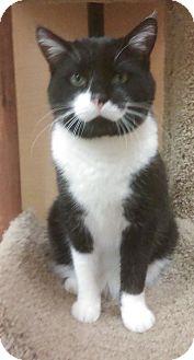 Domestic Shorthair Cat for adoption in Hillside, Illinois - Higgins-BIG TUXEDO BOY!