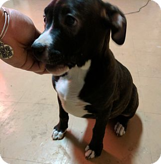 American Pit Bull Terrier/Boxer Mix Puppy for adoption in Plainfield, Connecticut - Sweet Spooky