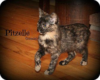 Domestic Shorthair Kitten for adoption in Glen Mills, Pennsylvania - Pitzelle
