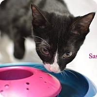 Adopt A Pet :: Sassy - Miami Shores, FL