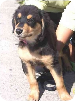 Australian Shepherd/Rottweiler Mix Puppy for adoption in West Los Angeles, California - Latte