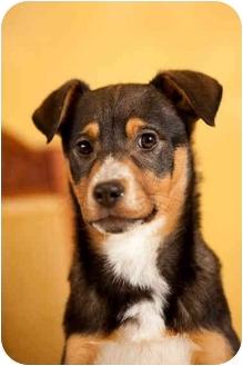German Shepherd Dog/Australian Shepherd Mix Puppy for adoption in Portland, Oregon - Guy