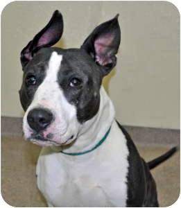 American Pit Bull Terrier Mix Dog for adoption in Port Washington, New York - Moose