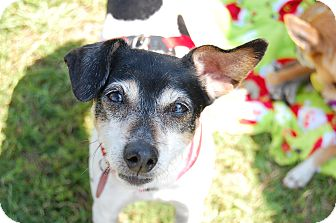 Rat Terrier Dog for adoption in Edmond, Oklahoma - Diamond