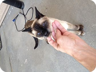 Siamese Cat for adoption in Phoenix, Arizona - SOPHIE