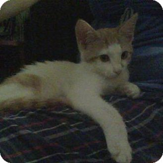 Domestic Mediumhair Kitten for adoption in Sterling Hgts, Michigan - Buttercup