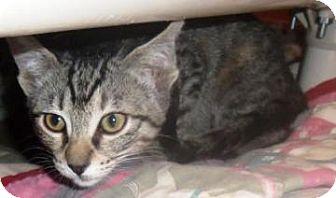 Domestic Shorthair Kitten for adoption in Columbus, Georgia - Mary Eunice 4604