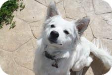 Australian Shepherd/Border Collie Mix Dog for adoption in Yuba City, California - Fonzie