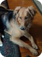 Collie/Shepherd (Unknown Type) Mix Dog for adoption in North Olmsted, Ohio - Bruce