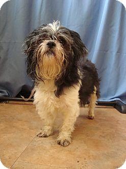 Shih Tzu Mix Dog for adoption in Youngwood, Pennsylvania - Oreo
