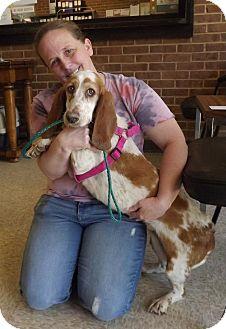 Basset Hound Dog for adoption in Northport, Alabama - Fergie