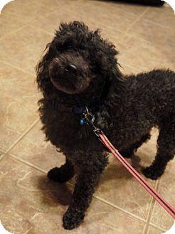 Miniature Poodle Dog for adoption in Baton Rouge, Louisiana - Bing