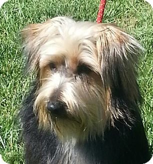 Yorkie, Yorkshire Terrier Dog for adoption in Brattleboro, Vermont - Reece