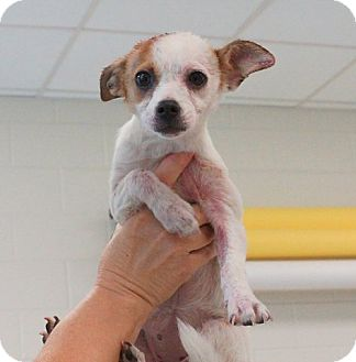 Chihuahua/Terrier (Unknown Type, Small) Mix Puppy for adoption in White Settlement, Texas - Whitney