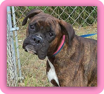 Boxer Dog for adoption in Marietta, Georgia - FOXXIE (R)