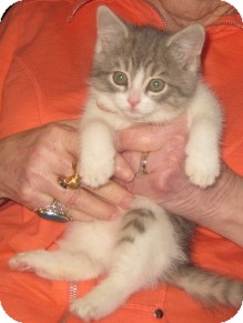 Norwegian Forest Cat Kitten for adoption in Dallas, Texas - Chablis