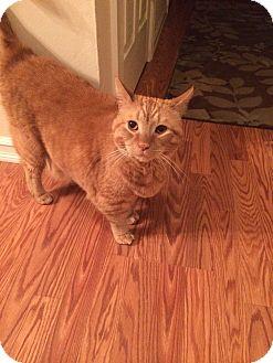 Domestic Shorthair Cat for adoption in Sparta, New Jersey - Kurt VonneCat