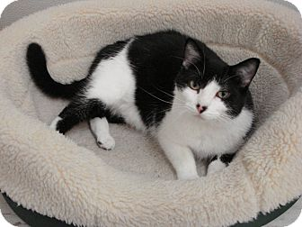 Domestic Shorthair Cat for adoption in Willmar, Minnesota - Buford