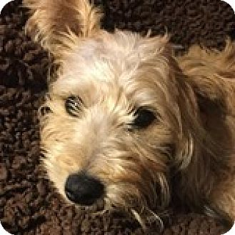 Dachshund Puppy for adoption in Houston, Texas - Sierra Sockhop