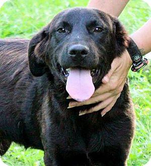 Labrador Retriever Mix Puppy for adoption in Naugatuck, Connecticut - Dylan