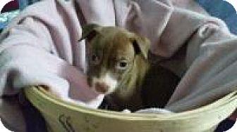 Labrador Retriever Mix Puppy for adoption in Marlton, New Jersey - Choco