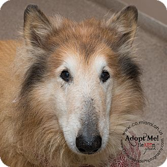 Collie Dog for adoption in Troy, Ohio - Hannah